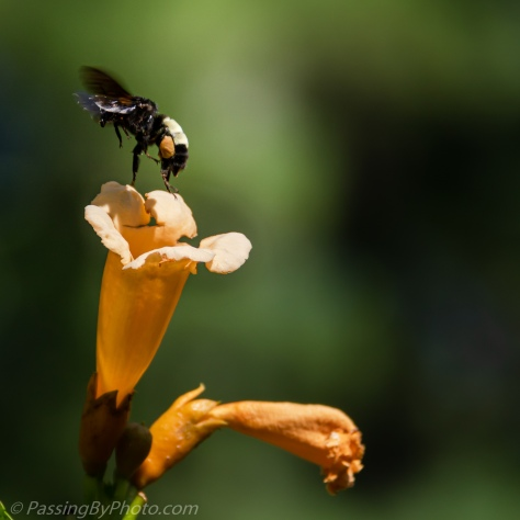 Bee Flying Away From Trumpet Vine Flower