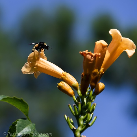 Bee On Trumpet Vine Flower