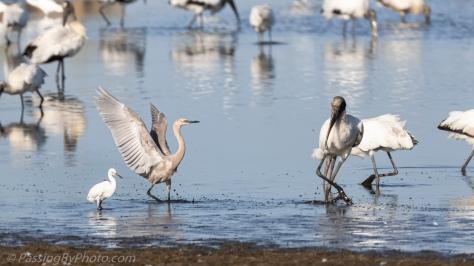 Immature Reddish Egret