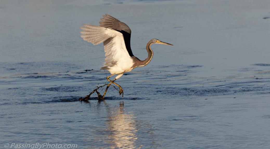Tricorlored Heron Dance