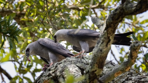Mississippi Kite Pair Eating