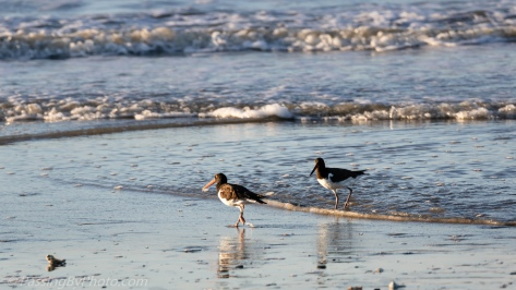 American Oystercatchers in ocean surf