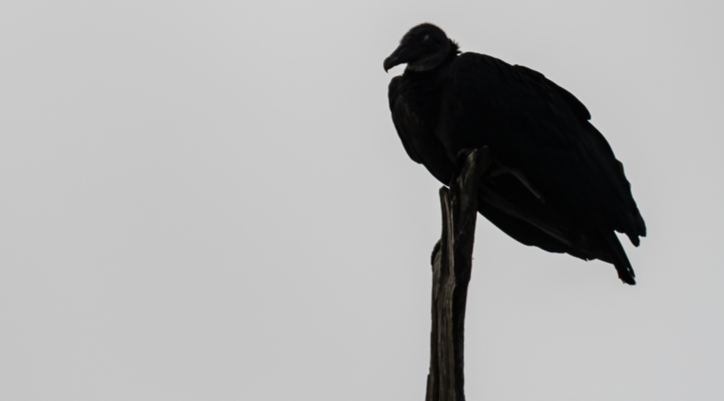 Black Vulture on Branch