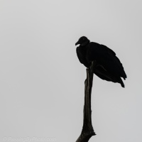 Black Vultures, Dead Tree in Silhouette