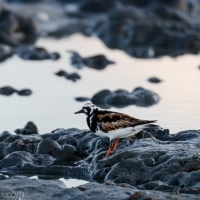 Ruddy Turnstone: Mud Hunt