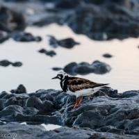 Ruddy Turnstone: Mud Hunt