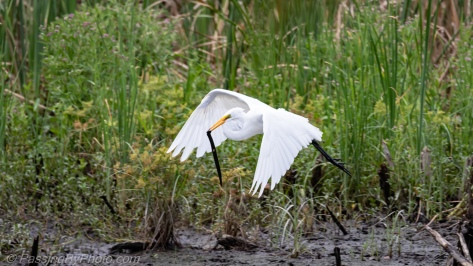 Great Egret with Siren