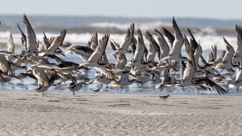 Black Skimmers Landing at Beach