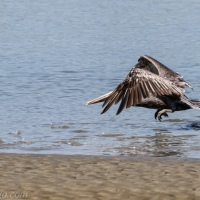 Brown Pelican Showing Off His Feet