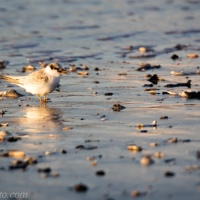Tern and Chick
