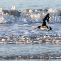 American Oystercatcher Flying Over Surf