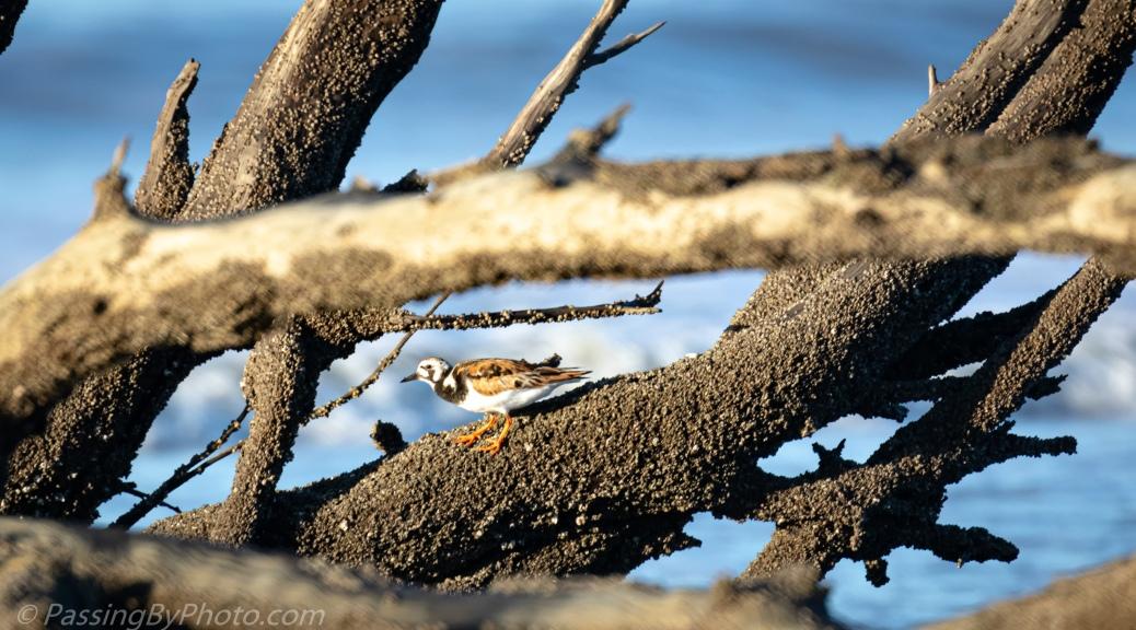 Ruddy Turnstone on Driftwood