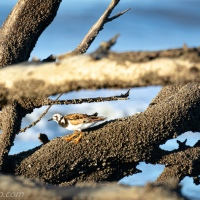 Ruddy Turnstone: Driftwood Framing