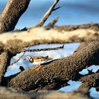 Ruddy Turnstone: Driftwood Framing