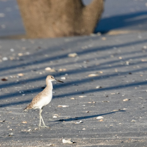 Willet and His Shadow