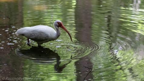 White Ibis in Pond