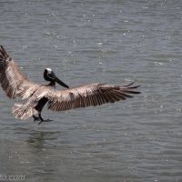 Grand Water Approach: Brown Pelican