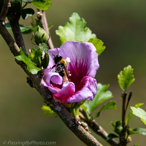 Rose of Sharon Bloom with Bee