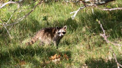 Raccoon Watching Me