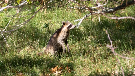Raccoon Sniffing Branch