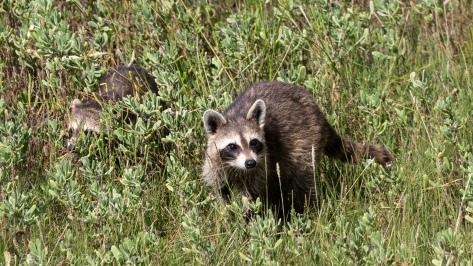 Raccoons in Marsh Grass