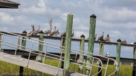 Brown Pelicans on Dock