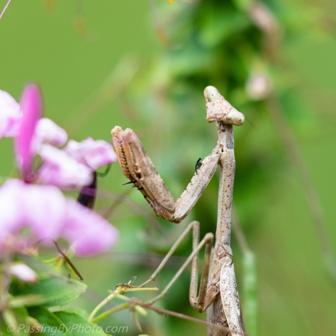 Praying Mantis on Cleome