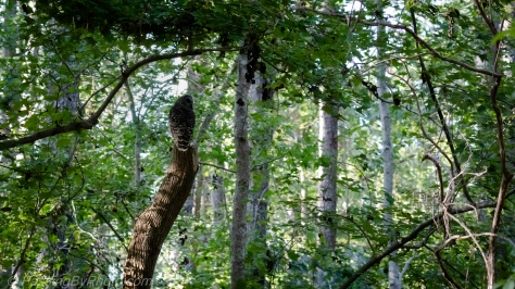 Barred Owl in Woods