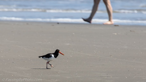 Oyster Catcher Walking the Beach