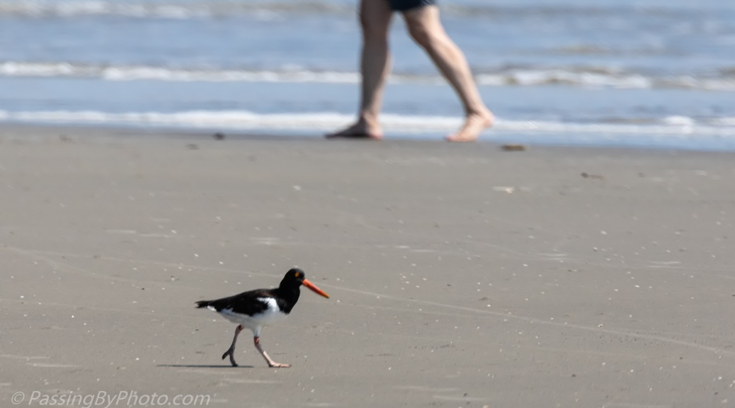 Oyster Catcher Walking the Beach