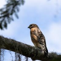 Red-shouldered Hawk, 2