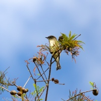 Eastern Phoebe in Treetop