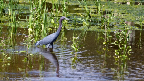 Little Blue Heron Pond Walk