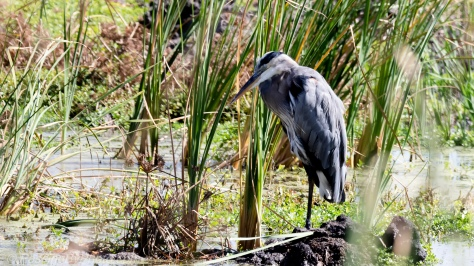 Great Blue Heron Asleep in Reeds
