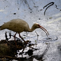 White Ibis Walkabout