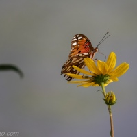 Gulf Fritillary, At the Pond