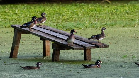 Wood Ducks on Alligator Ramp