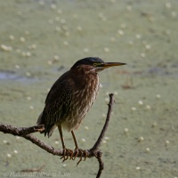 Green Heron on a Limb