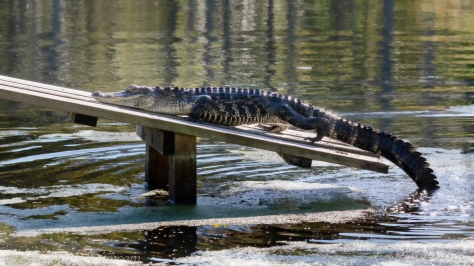 Alligator on Ramp