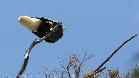 Bald Eagle From Underneath