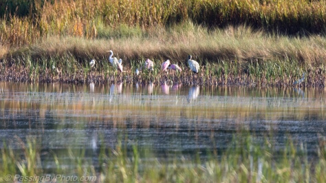 Wading Birds in the Marsh
