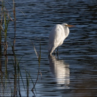 Great Egret, Classic Pose
