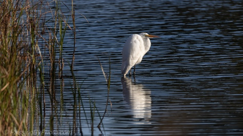 Great Egret Classic Pose