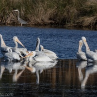 White Pelicans, Between Feedings