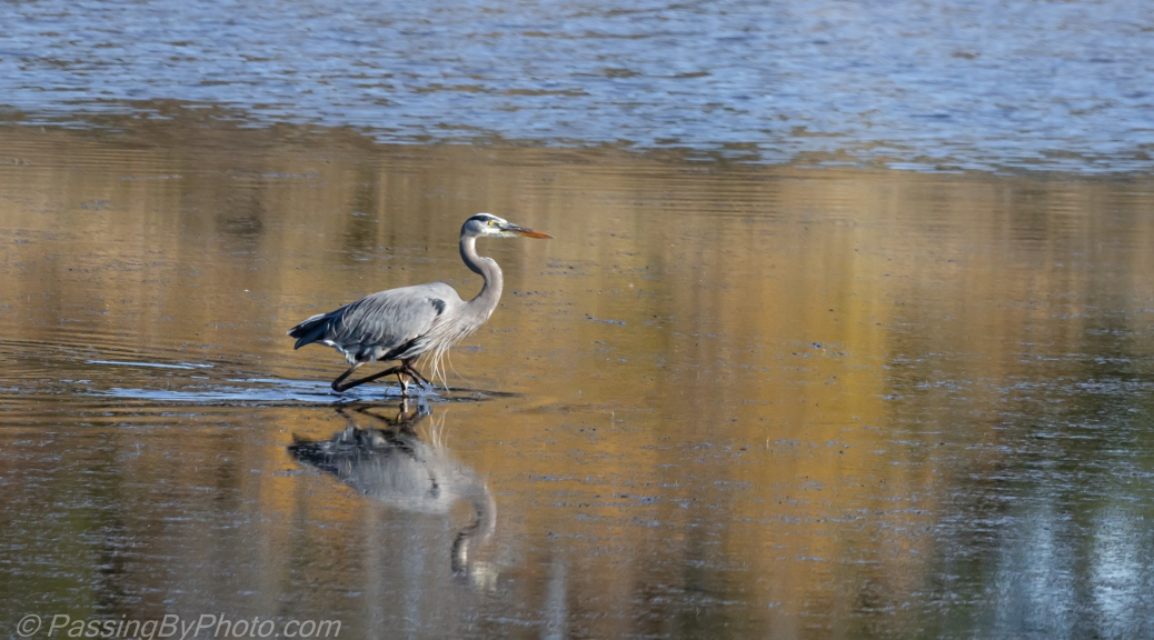 Great Blue Heron Strolling in Pond