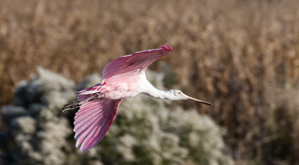 Roseate Spoonbill Flying By