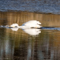 Single White Pelican