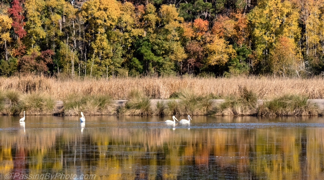 White Pelicans Fall Colors