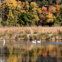 White Pelicans, Fall Colors