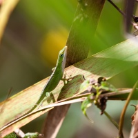 Anole On the Move